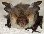 Bat looking faintly sceptical