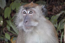 A macaque monkey