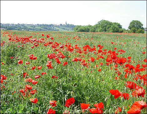 Nature Photography Gallery photo of a poppy field