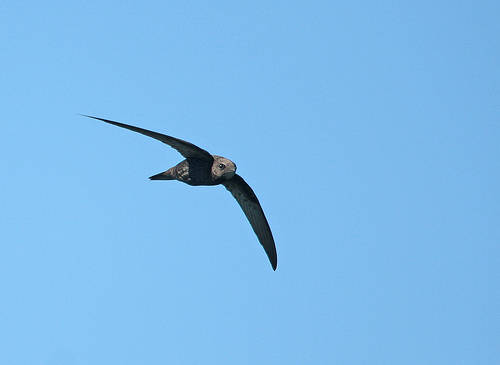 swift on the wing by BC-956
