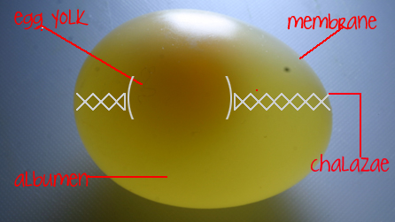 Diagram illustrating the main components of an egg  - without its shell