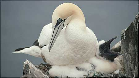 Gannets c/o RSPB Images and Chris Gomersall