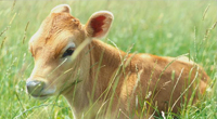 Calf sitting in a field