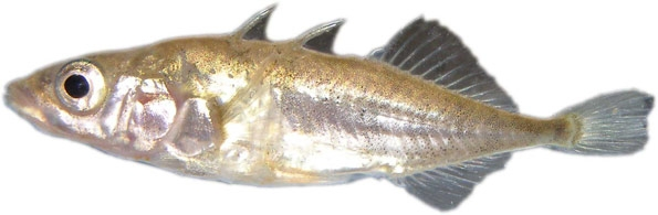 Stickleback by Dr. Mark Everard