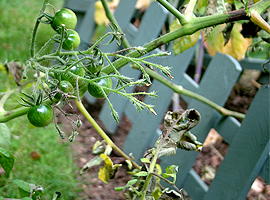 Sara's green tomatoes (wih blight) just over one week ago