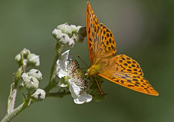 Silver-washed fritillary by Peter Warne