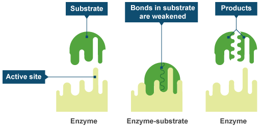 how to create an enzyme
