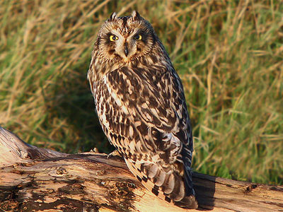 A short-eared owl by Mike Warburton.