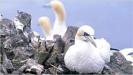 Gannets c/o RSPB Images and Andy Hay