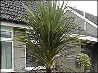 Bbc Lancashire Nature Ask The Gardener Cordylines