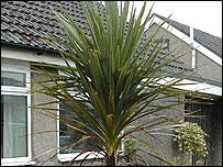 Bbc Lancashire Nature Ask The Gardener Cordylines