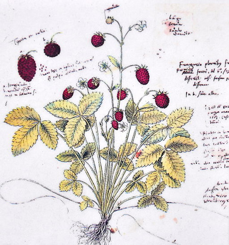Fragaria vesca drawing