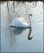 Swan on the River Exe