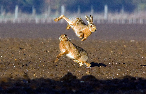 Jumping mad March hares by old bill uk