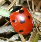 Seven spotted Ladybird