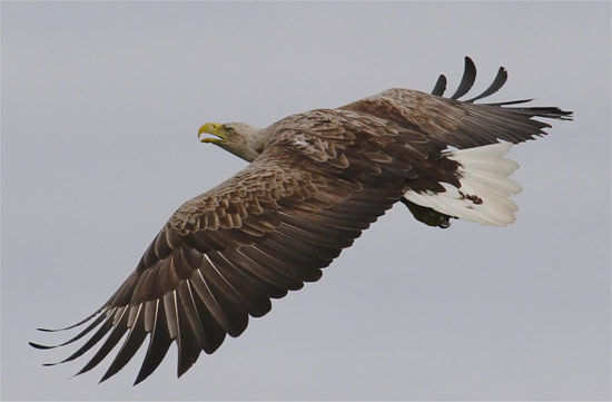 White-tailed sea eagle by Iain Erskine
