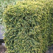 Bbc Gardening Plant Finder Yew