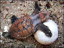 Hawksbill_turtle_hatchling_and_egg