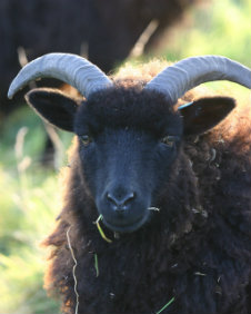 A black sheep