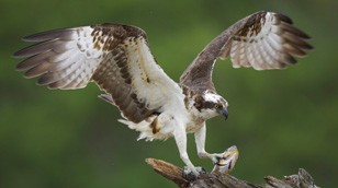 Osprey by Nature Picture Library