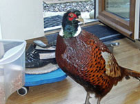 A pheasant that walked into Christine Elvin's home