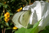 Adult large white butterfly