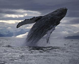 Humpback Whale from the Nature Picture Library
