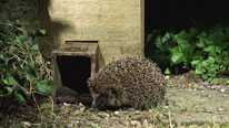 hedgehog home