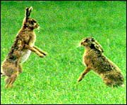 Boxing hares - courtesy of BBC Wildfacts
