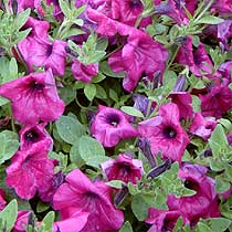 how to make petunia spread