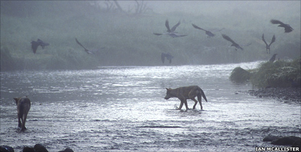 Wolves in river