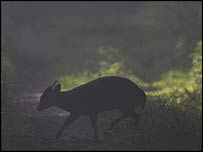 The silhouette of a Muntjac