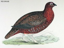 An illustration of a red grouse. (c) BirdCheck.co.uk
