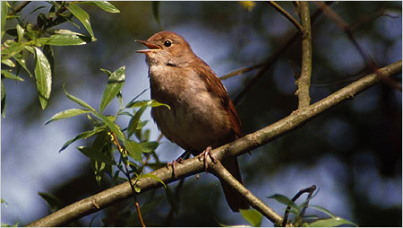 Nightingale c/o rspb images Andy Hay