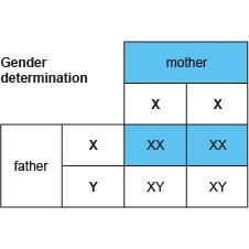 BBC - GCSE Bitesize: Genetic diagrams- Higher tier