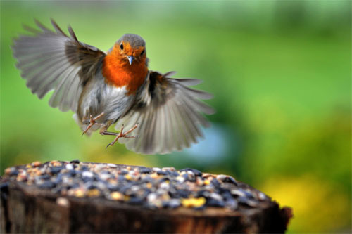 Robin landing © Stressed Jim
