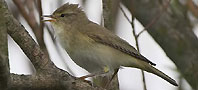 Willow Warbler, copyright owned by Blueskybirds.co.uk.