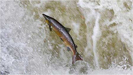 An introduction to the nature of atlantic salmon