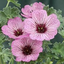 bbc gardening plant finder hardy geranium. Black Bedroom Furniture Sets. Home Design Ideas