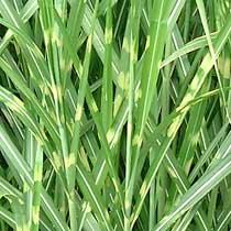 Bbc Gardening Plant Finder Zebra Grass