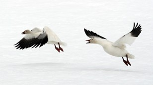 Snow Geese by Chadden Hunter
