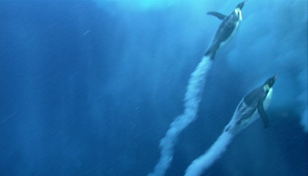 Emperor penguins create bubble trails (image: Blue Planet, BBC)