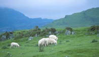 Countryside scene with rooling hills and a folk of sheep