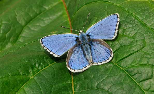 male adonis blue butterfly by Pete Withers