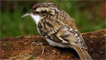 A treecreeper by Alan C