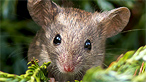 A wood mouse by Ashley Cohan