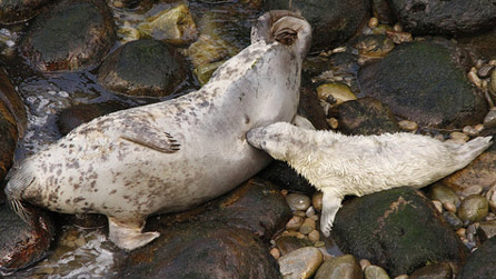 A grey seal and pup by Ade Owens