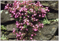 Dry stone wall with flowers