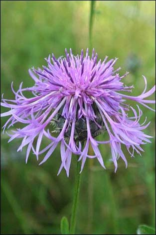 Knapweed - Cholderton Estate - Vivienne Brett