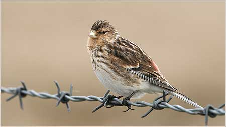 Twite - machair bird - c/o RSPB Images and Marshall